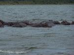 Herd of Hippos...