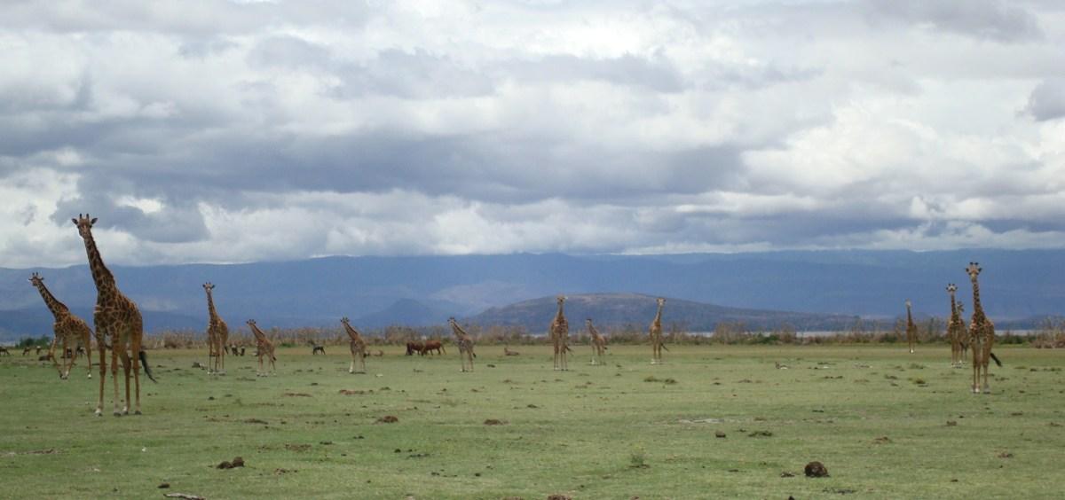 Nice shot of Giraffes...