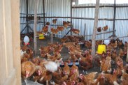Chicken Project that helped provide eggs/income for feeding program at Calvary Christian School. Ruai